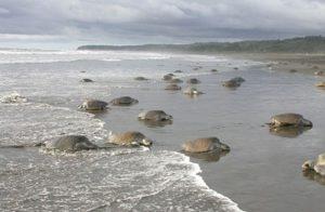 Freiwilligenarbeit Costa Rica Rette Meeresschildkröten