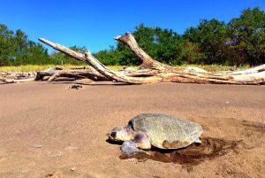 Meeresschildkröte Costa Rica, Freiwilligenarbeit