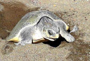 Meeresschildkröte Costa Rica, Volunteering